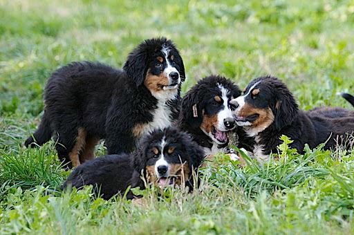 Bovaro Bernese allevamento cani