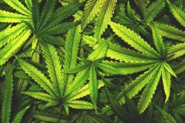 Aprire un cannabis social club