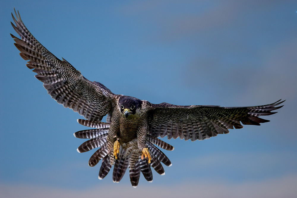 falconieri