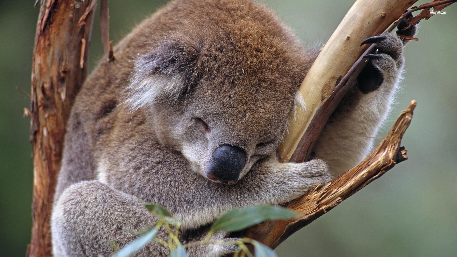 alice avallone koala stipendio